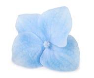 Blå isolerad vanlig hortensiablomma för singel Fotografering för Bildbyråer