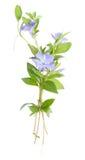 blå isolerad vintergröna för bukett blomma arkivbild