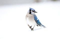 blå jay perched stick arkivbild