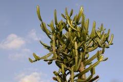 blå kaktussky Arkivfoton