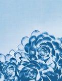 Blå kaktussuckulent royaltyfria bilder