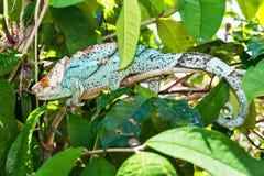 blå kameleont Arkivfoto