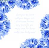 blå kantblomma Arkivbild