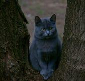 blå katt royaltyfria bilder