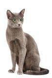 blå kattryss royaltyfria foton