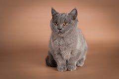 Blå kattunge för britt, skotsk raksträcka Fotografering för Bildbyråer