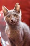 Blå kattunge för ryss Royaltyfri Bild