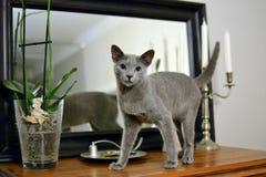 Blå kattunge och spegel för ryss Arkivbilder
