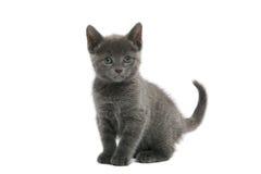 blå kattungeryss Royaltyfri Fotografi