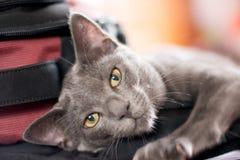 Blå Korat kattunge Arkivbild