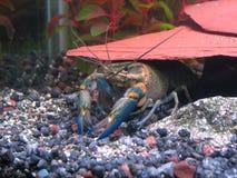 blå kräfta Royaltyfri Fotografi