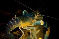 Blå kräfta i akvarium Fotografering för Bildbyråer