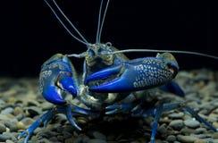 Blå kräftacherax i akvariet arkivbilder