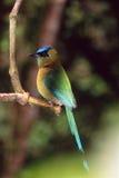blå krönad motmot Arkivfoto