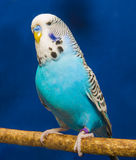 Blå krabb papegoja Arkivbild