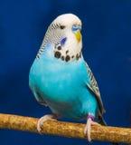 Blå krabb papegoja Royaltyfri Bild
