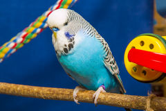 Blå krabb papegoja Royaltyfria Foton