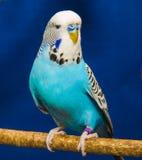 Blå krabb papegoja Royaltyfria Bilder