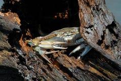 blå krabba Arkivbilder