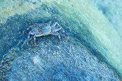 Blå krabba royaltyfri fotografi