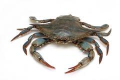 Blå krabba royaltyfria bilder