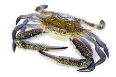 blå krabba Royaltyfri Foto