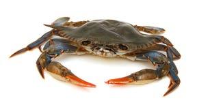 blå krabba royaltyfri bild