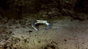 Blå krabba i för Yucatan för grottabuskesjö cenote mexikan stock video