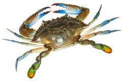 Blå krabba med vit bakgrund Top beskådar royaltyfria bilder