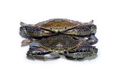 Blå krabba på vit Arkivbild