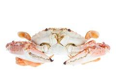 Blå krabba som isoleras på vit bakgrund Arkivbild