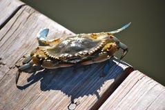 blå krabbaescape maryland Arkivbilder