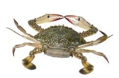 blå krabbakvinnligsimning Fotografering för Bildbyråer
