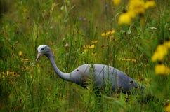 Blå kran (den Anthropoides paradiseusen) Royaltyfria Foton