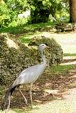 blå kran för fågel Arkivfoton