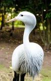 Blå kran på fåglar av Eden i den Plettenberg fjärden Sydafrika Royaltyfri Fotografi