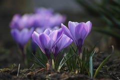 blå krokus Royaltyfri Fotografi