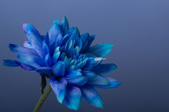 Blå krysantemum Royaltyfria Bilder