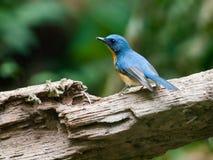 Blå kulleflugsnappare Arkivbild