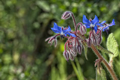 Blå lös orkidé Arkivbild