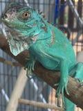 blå leguan Royaltyfri Fotografi