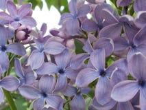 Blå lila makro Royaltyfri Fotografi