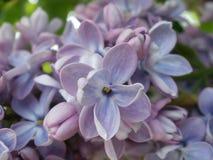 Blå lila makro Royaltyfri Foto