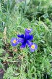 blå lilja Arkivfoton