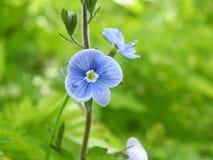 Blå liten blomma i skogen royaltyfria bilder