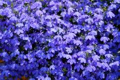 blå lobelia Royaltyfria Foton