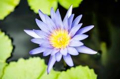 Blå lotusblomma Fotografering för Bildbyråer