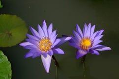 Blå lotusblomma Royaltyfria Bilder