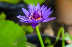 Blå lotusblomma i dammet royaltyfria foton