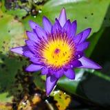 Blå lotusblomma i trädgård Royaltyfria Foton